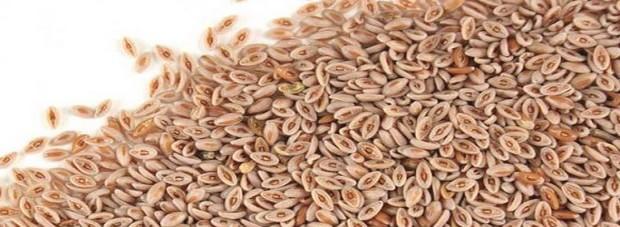 psyllium_seeds